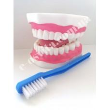Модель догляду за зубами (збільшена в 6 разів)
