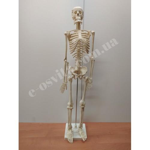 Скелет людини 85 см